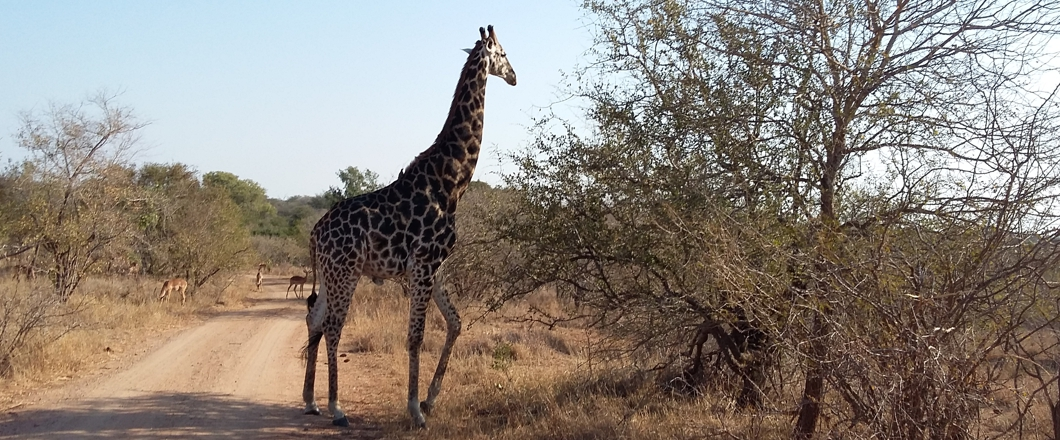 giraffe on a kruger national park safari