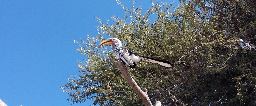 hornbill seen in the Okavango Delta